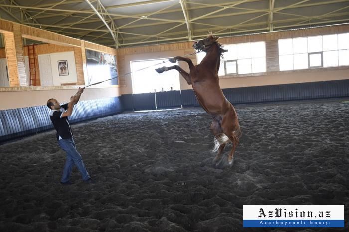 Atası Lovğa, anası Şakira - 60 min manata olan Azərbaycan atları - FOTOLAR