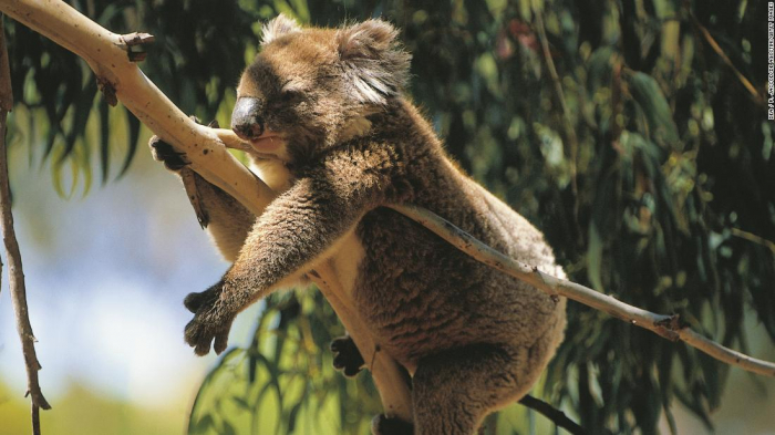 Population of koalas   could be key to saving the species - Researchers say