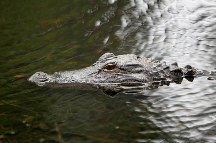 Etats-Unis: jeter la drogue aux toilettes peut rendre les alligators accros
