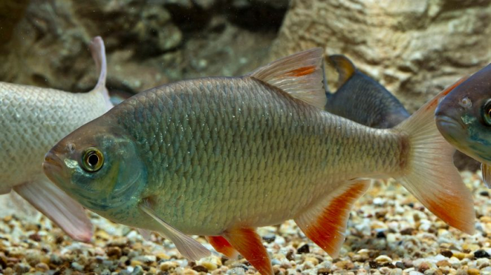 Il avale un poisson vivant et rend l'âme