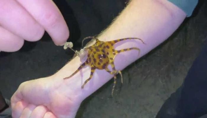 Ils font des selfies avec une pieuvre capable de tuer 26 personnes en une morsure