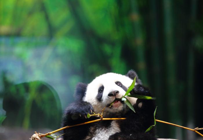 Le femelle panda Jiao Qing fête ses 9 ans au zoo de Berlin -  NO COMMENT