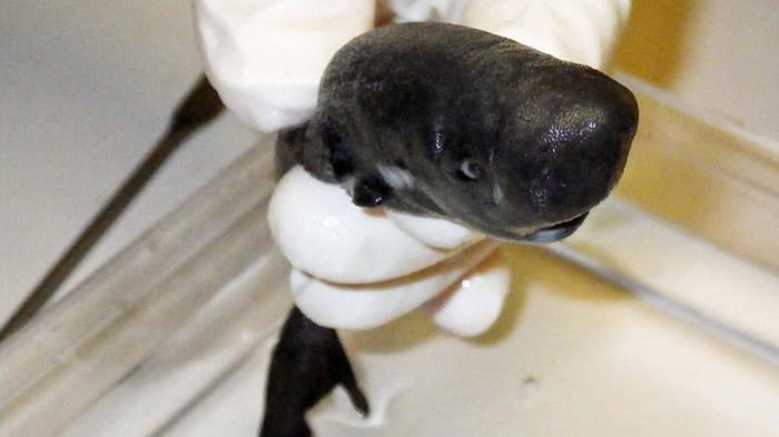 Des scientifiques recensent une nouvelle espèce de requin qui brille dans le noir