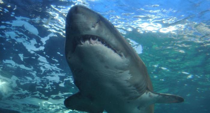 Des scientifiques découvrent un requin du Groenland vieux de plus de 500 ans