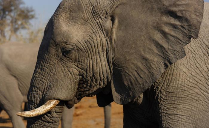 Primer paso para prohibir la venta de elefantes a zoológicos