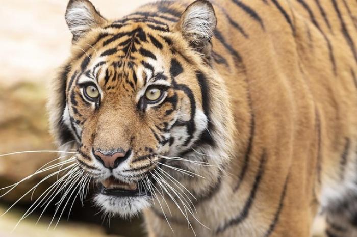 Plus de 2300 tigres, victime de trafic, saisis depuis 2000