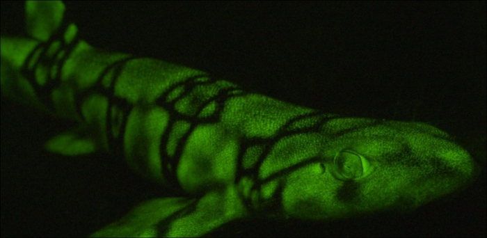 Le secret des requins fluorescents enfin percé