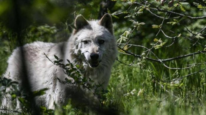 """""""البطل"""" ينقذ عائلة بأكملها من ذئب منتصف الليل"""