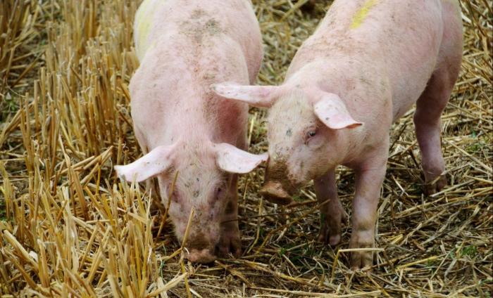Peste porcine:  la Chine va puiser 10.000 tonnes de viande dans ses réserves