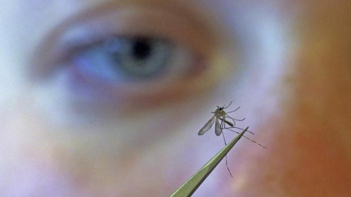 Los mosquitos transgénicos alteran el ADN de sus congéneres naturales