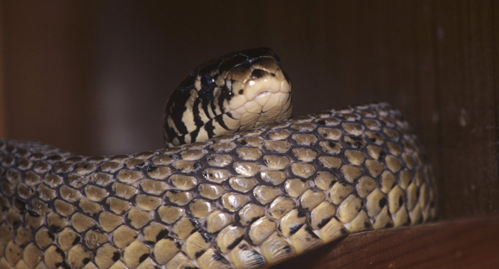 ثعبان ضخم يكسر عظام تمساح أمام عين سائح