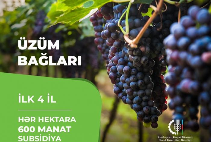 Üzüm bağlarının hər hektarına görə fermerə 600 manat veriləcək
