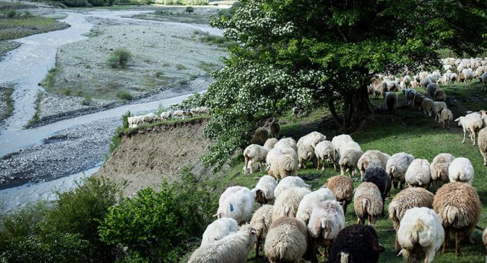 Ermənistanda qatar qoyun sürüsü ilə toqquşub