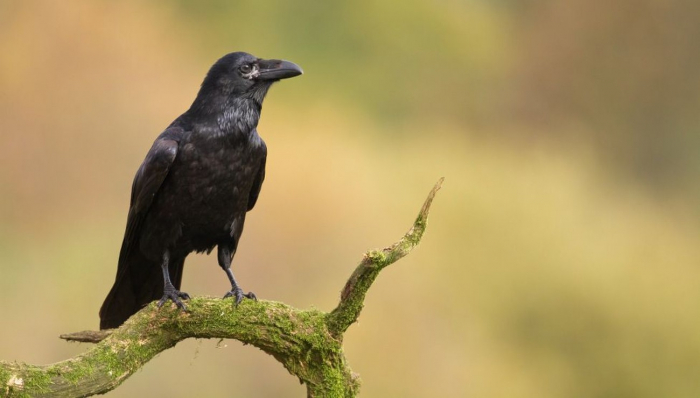 Cet Indien est harcelé depuis 3 ans par des corbeaux qui croient qu'il a tué l'un des leurs
