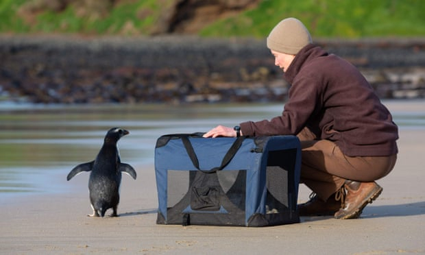 Tiny penguin released back into wild after swimming from New Zealand to Australia