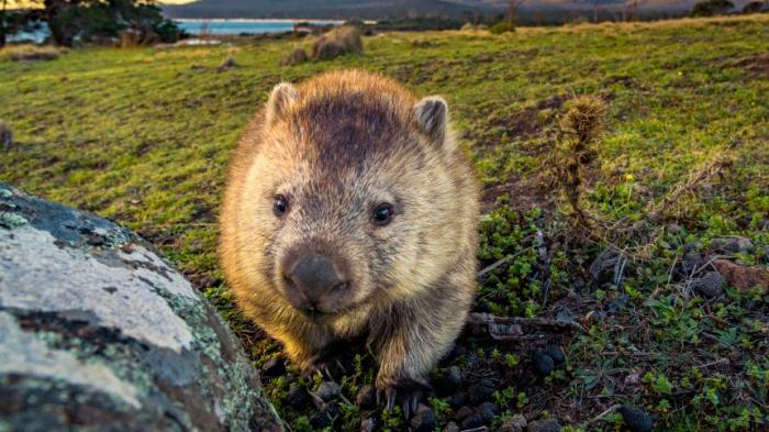 Wombat mit Steinen erschlagen - Video löst heftige Debatte aus