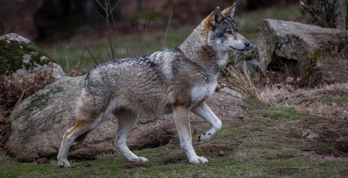 La justice européenne encadre strictement la chasse au loup