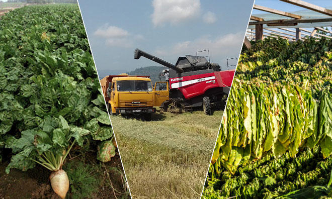 Rice, tobacco, sugar beets harvesting continues in Azerbaijan