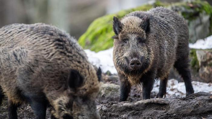 Brandenburg ist auf Schweinepest vorbereitet