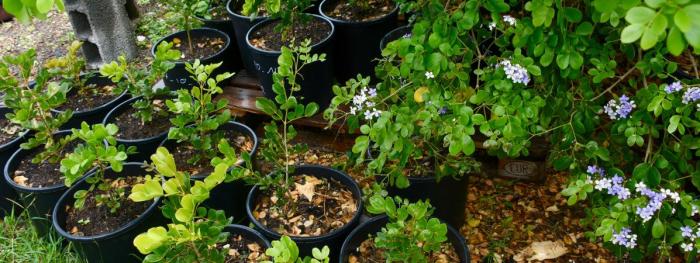 Guadeloupe:   plus de 250 espèces de la flore menacées