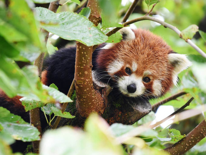 Endangered red panda on loose after escaping from zoo