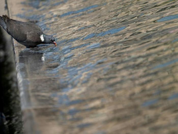 Les pigeons estropiés - victimes de nos déchets