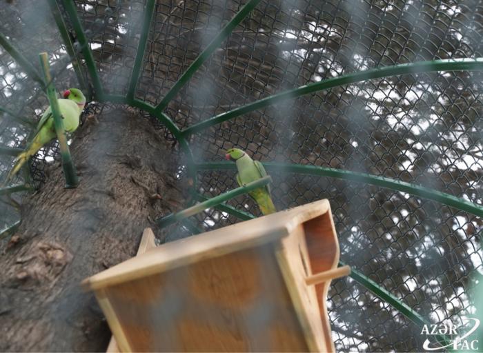 Des perroquets ont été relâchés dans la nature à Bakou