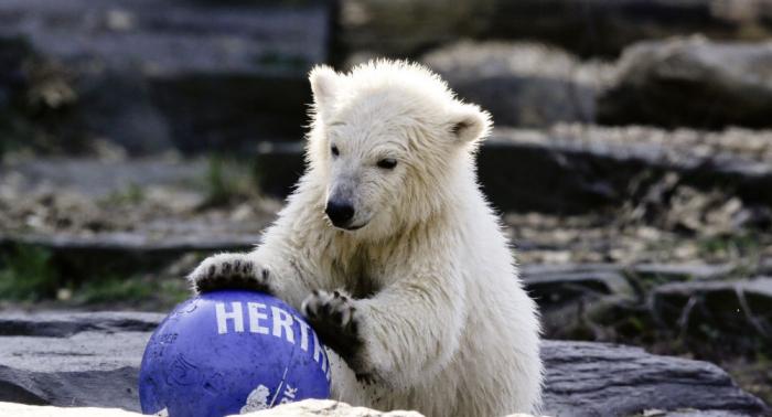Berlin Zoo celebrates first birthday of polar bear cub Hertha