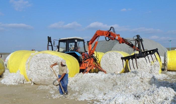İndiyədək 293 min ton pambıq təhvil verilib