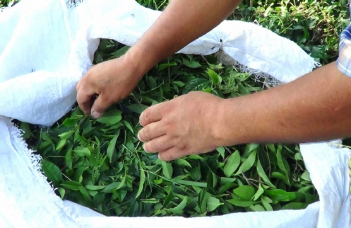 Bu il ölkədən 1359 ton çay ixrac olunub