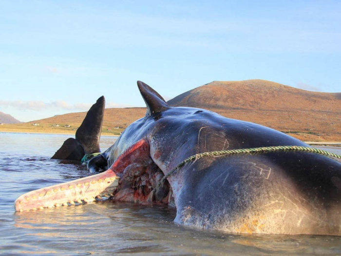 Whale found dead with 100kg 'litter ball' in stomach