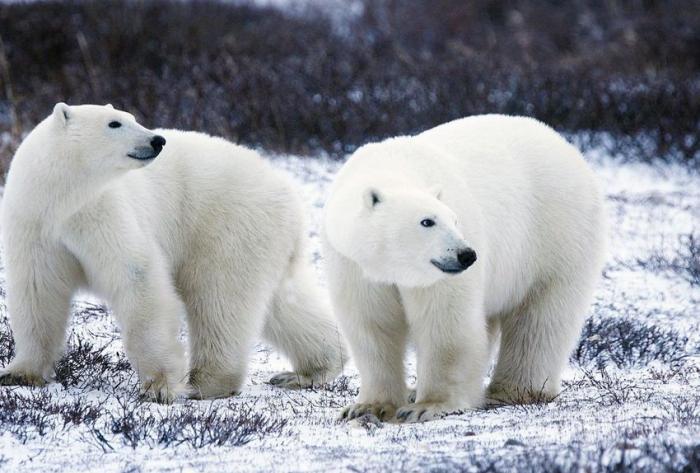 Changement climatique:   56 ours blancs aux abords d