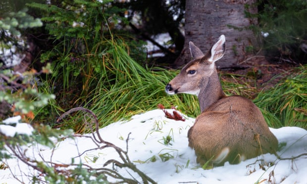 Canadian skater rescues family of deer from frozen lake-     VIDEO