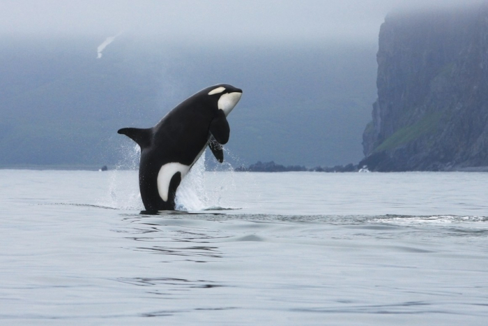 Why killer whales—and humans—evolved menopause-   iWONDER