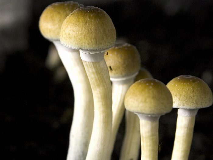 Magic mushroom compound psilocybin found safe for consumption in largest ever controlled study