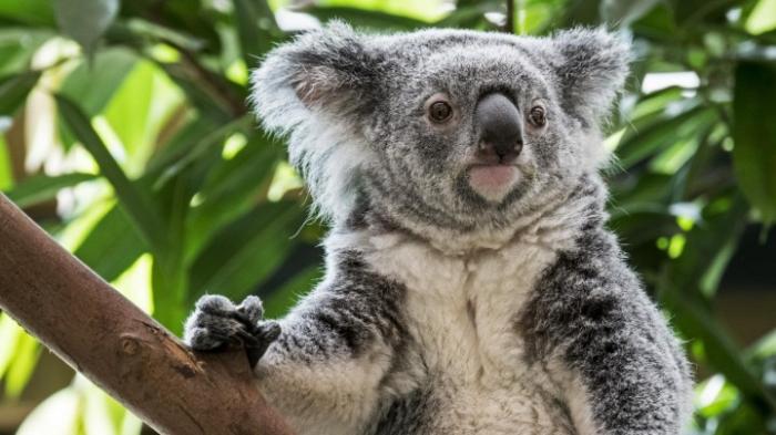 Zehntausende Koalas fallen Waldbränden zum Opfer