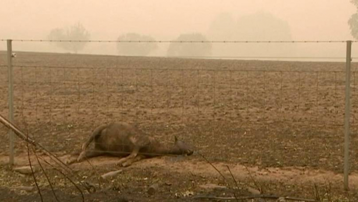 Haunting images of charred animals show horror of Australia fires-   NO COMMENT
