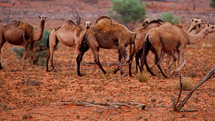 10,000 camels in Australia to be shot from helicopters