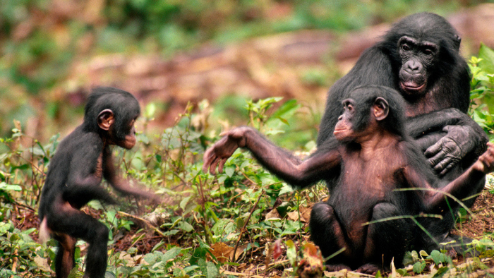 Científicos revelan los vínculos sociales de los chimpancés machos jóvenes con sus hermanos e individuos viejos