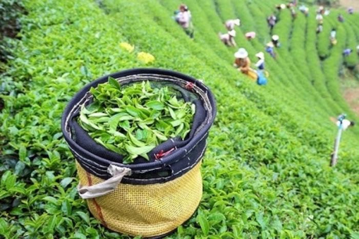 Les importations azerbaïdjanaises de thé ont connu une hausse