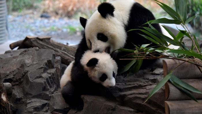Erster Ausflug für die Panda-Zwillinge