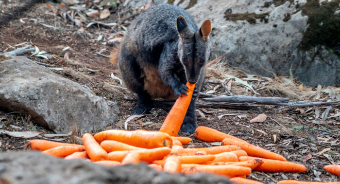 Tonnes of veggies dropped by helicopter for starving animals in Australia amid bushfires