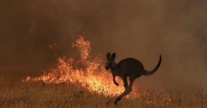Avstraliyadakı yanğınlarda 1 milyarddan çox heyvan ölüb