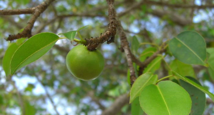 Este es el árbol más peligroso del mundo y se encuentra en América Latina