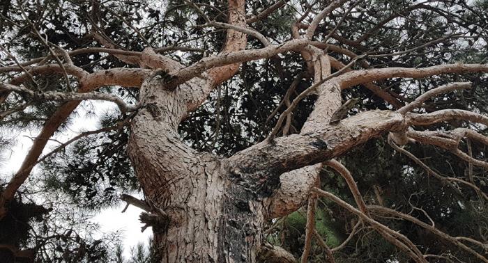 Yol tikintisinə görə ağacları köçürdülər