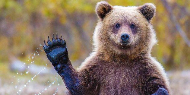 Un ours profite du confinement pour se promener dans une ville italienne -  Vidéo