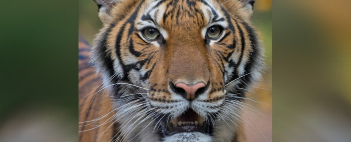 Tiger  in New York has tested positive for coronavirus