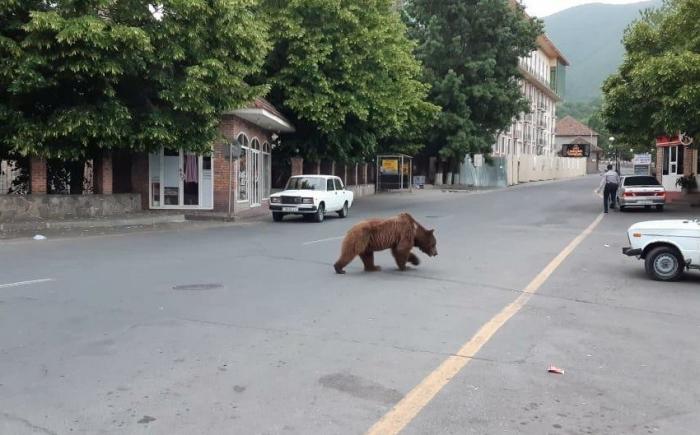 Şəkidəki ayı Altıağac Milli Parkına aparılacaq