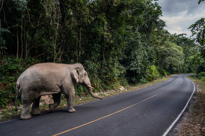 Thanks to a virus lockdown, elephants are roaming freely in a Thai national park