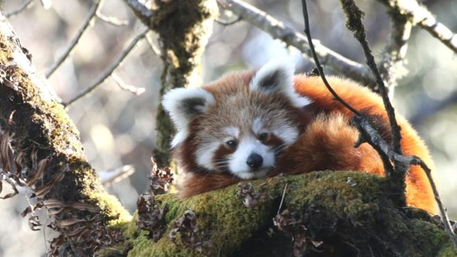 Red pandas tracked by satellite in conservation